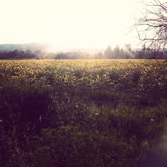sunflowers bulgaria countryside