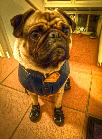 pug in jacket and boots